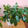 Grape Ivy (Cissus rhombifolia) indoor plants houseplants office plants bright to low light easy to grow