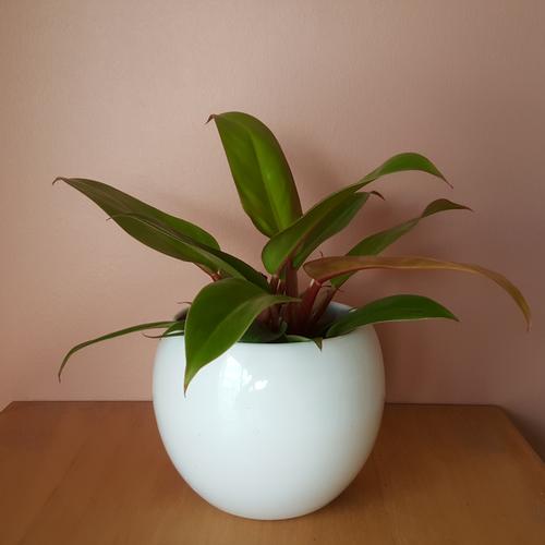 philodendron hybrids assorted houseplants office plants indoor plants interiorplants plant sale Mississauga Toronto Burlington Oakville GTA
