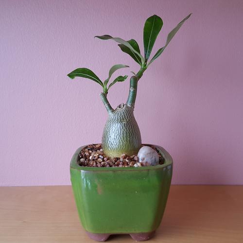 Bonsai Adenium 'Desert Rose'