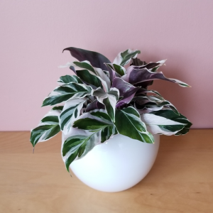 calathea fusion white indoor plants houseplants interiorplants plant sale Mississauga Toronto Oakville Burlington GTA