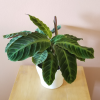 calathea warscewiczii jungle velvet foliage beautiful houseplants indoor plants interiorplants plant sale Toronto Mississauga Oakville Burlington Brampton GTA