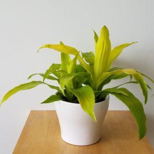 Indoor plants houseplants green plants for indoors interiorplants Plant shop GTA Mississauga Toronto Etobicoke Brampton Burlington Oakville Hamilton Dracaena Limelight