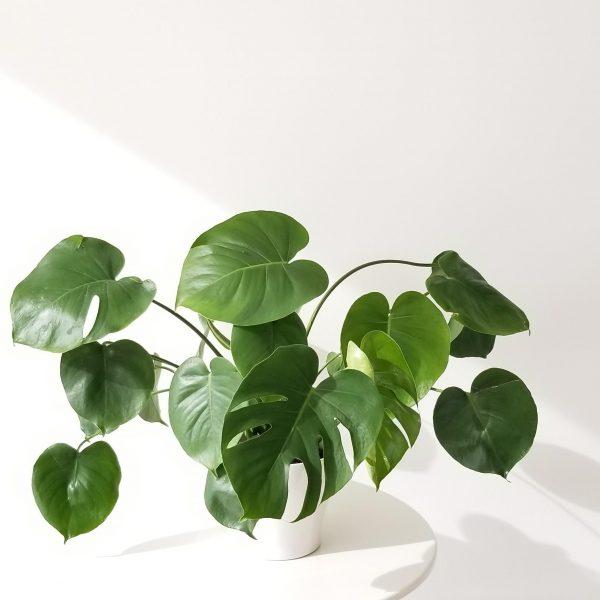 Indoor plants houseplants interiorplants plant sale Mississauga Toronto Etobicoke Brampton Oakville Burlington GTA Monstera deliciosa Philodendron