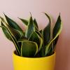 sansevieria black gold snake plant houseplant indoor plants interiorplants plant sale Mississauga Toronto Brampton Burlington Oakville GTA