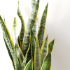 sansevieria laurentii 10 inch container indoorplants houseplants interiorplants office plants air-purifying plants plant sale Mississauga Toronto Brampton Etobicoke Burlington Oakville GTA