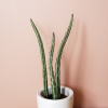 Pickle plant (Senecio stapeliiformis) succulents indoor plants houseplants plant sale Mississauga Toronto Brampton Burlington Oakville GTA