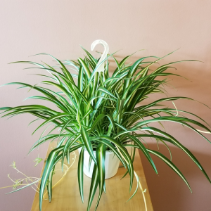 spider plant 8inch hanging basket indoor plants houseplants office plants natural air-purifier plant sale Mississauga Toronto Brampton Burlington Oakville GTA