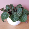 strawberry begonia saxifraga stolonifera indoor plants houseplants interiorplants plant sale Toronto Mississauga Brampton Burlington Oakville GTA