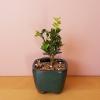 bonsai assortment mini indoor plants houseplants office plants interiorplants plant sale Mississauga Toronto Brampton Oakville Burlington GTA