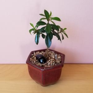 bonsai assortment mini houseplants indoor plants office plants interiorplants plant sale Toronto Mississauga Brampton Burlington Oakville GTA
