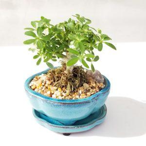 Indoor plants houseplants green plants for indoors interiorplants Plant shop GTA Mississauga Toronto Etobicoke Brampton Grimsby Burlington Oakville Hamilton Bonsai assortment
