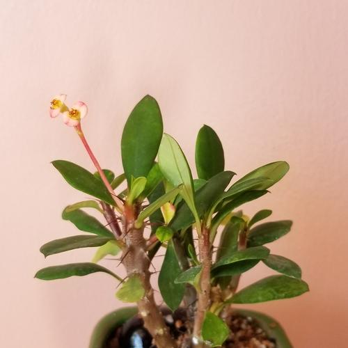 bonsai assortment collection euphorbia milii crown of thorns houseplants indoor plants plant sale Toronto Mississauga Brampton Burlington Oakville GTA