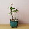 bonsai crown of thorns 3 inch pot flowering indoor plants houseplants plant sale Mississauga Toronto Brampton Oakville Burlington Etobicoke GTA