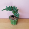 bonsai juniper mini houseplants indoor plants office plants plant sale Toronto Brampton Burlington Oakville Mississauga GTA
