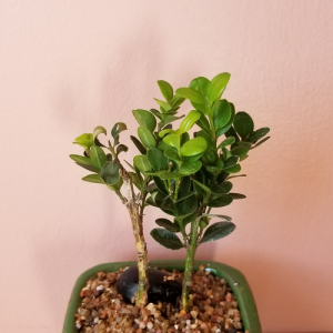 bonsai assortment mini indoor plants houseplants office plants interiorplants plant sale Mississauga Toronto Brampton Oakville Burlington GTA