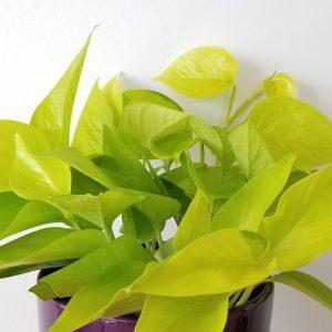 Beautiful healthy indoor plants houseplants interiorplants plant shop Mississauga Toronto Etobicoke Brampton Burlington Oakville Hamilton GTA air-purifying green plants Pothos Neon