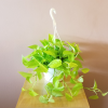 pothos neon hanging basket indoor plants houseplants interiorplants office plants plant sale Toronto Mississauga Oakville Burlington Brampton GTA