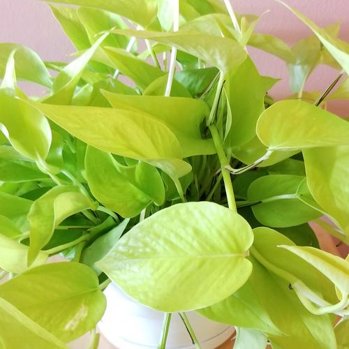pothos neon hanging basket indoor plants houseplants interiorplants office plants plant sale Toronto Mississauga Oakville Burlington Brampton GTA