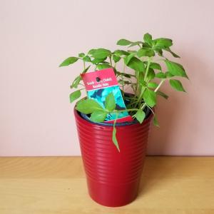 Tulsi Holy Basil Osimum tenuiflorum medicinal herbs indoor plants houseplants herb plant sale Mississauga Toronto Brampton Oakville Burlington GTA