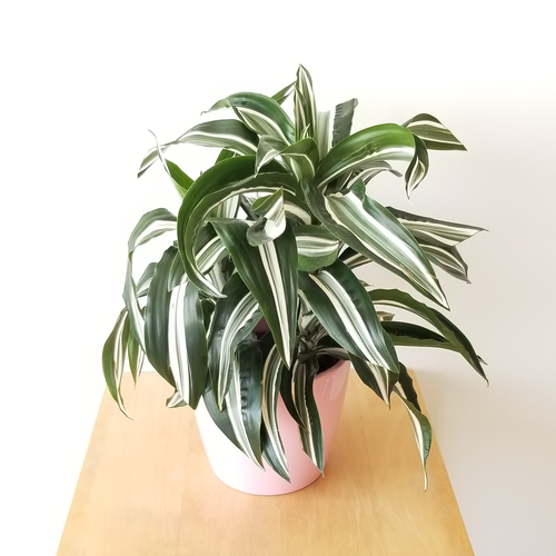 dracaena jade jewel indoor plants houseplants interiorplants plant sale Mississauga Toronto Etobicoke Burlington Brampton Oakville Hamilton GTA