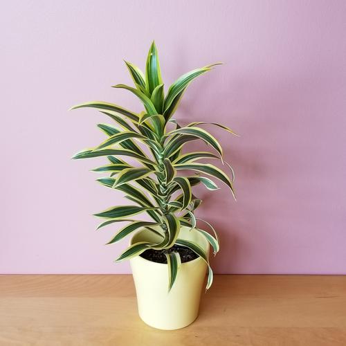 dracaena reflexa song of India indoor plants houseplants office plants interior plants plant sale Mississauga Toronto Oakville Brampton Burlington GTA