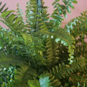 Boston Fern hanging basket indoor plants houseplants office plants indoor plant sale Mississauga Toronto Brampton Oakville Burlington GTA