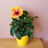 hibiscus rosa-sinensis flowering indoor plants houseplants interiorplants plant sale Mississauga Toronto Brampton Oakville Burlington GTA