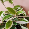 hoya carnosa wax plant houseplants indoor plants interiorplants plant sale Mississauga Toronto Brampton Burlington Oakville GTA