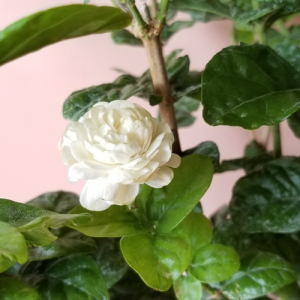 jasmine sambac arabian jasmine grand duke of tuscany fragrant flowering indoor plants houseplants interiorplants plant sale Mississauga Toronto Oakville Brampton Burlington GTA