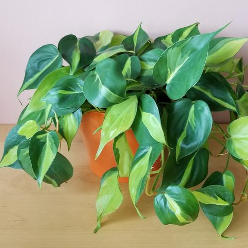 philodendron brasil indoor plants houseplants office plants plant sale Mississauga Toronto Burlington Brampton Oakville GTA