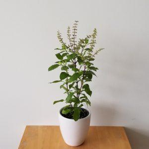 Indoor plants houseplants green plants for indoors interiorplants Plant shop GTA Mississauga Toronto Etobicoke Brampton Burlington Oakville Hamilton Herbs Medicinal herbs Tulsi Holy Basil