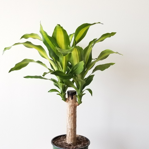 dracaena massangeana indoor plants houseplants plant sale Toronto Etobicoke Mississauga Brampton Burlington Oakville GTA