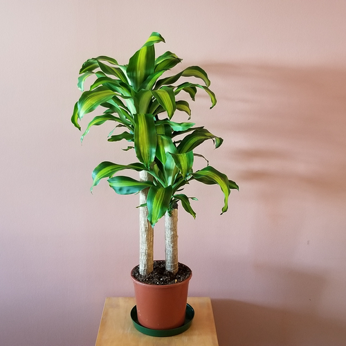 dracaena fragrans massangeana corn plant indoor plants office plants houseplants plant sale Mississauga Brampton Oakville Burlington Toronto GTA