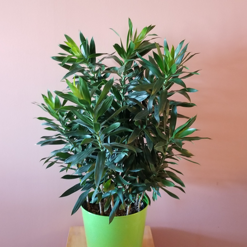 dracaena reflexa green pleomele 10 inch indoor plants houseplants office plants interiorplants plant sale Mississauga Toronto Brampton Oakville Burlington GTA