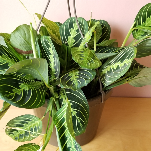 maranta lemon lime prayer plant indoor plants houseplants office plants hanging basket plants variegated foliage beautiful leaves plant sale Mississauga Toronto Brampton Burlington Oakville GTA