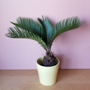 sago palm cycas revoluta indoor plants houseplants intiriorplants office plants plant sale Mississauga Toronto Burlington Brampton Oakville GTA