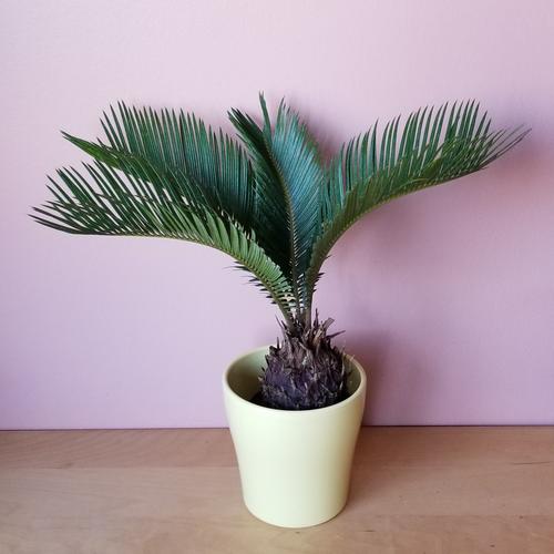 sago palm cycas revoluta indoor plants houseplants intiriorplants office plants plant sale Mississauga Toronto Burlington Brampton Oakville GTA