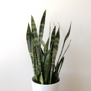 Indoor plants houseplants airpurifyng plants indoors plant sale Interiorplants plant gifts GTA Mississauga Toronto Etobicoke Brampton Burlington Hamilton Cambridge Oakville Ontario Richmond Hill North York GTA Sansevieria Black Coral Snake plant
