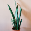 sansevieria trifasciata black coral 8 inch indoor plants houseplants office plants interiorplants plant sale Mississauga Toronto Burlington Brampton Oakville GTA
