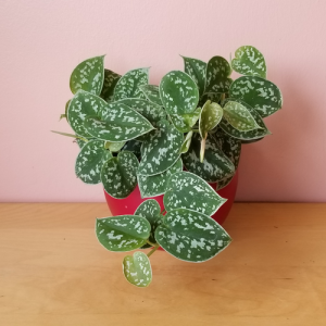 scindapsus green satin pothos indoor plants houseplants office plants for hanging baskets plant sale Mississauga Toronto Brampton Burlington Oakville GTA