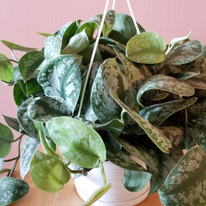 scindapsus silver satin pothos indoor plants houseplants office plants for hanging baskets plant sale Mississauga Toronto Brampton Burlington Oakville GTA
