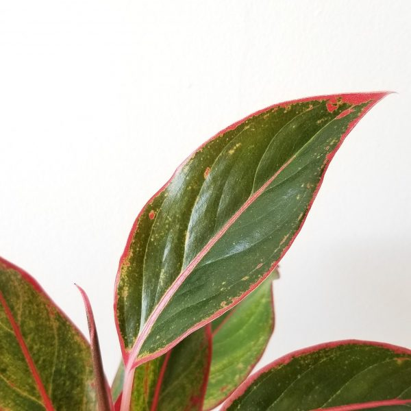 Indoor plants houseplant sale Interiorplants plant gifts Mississauga Toronto Etobicoke Brampton Burlington Hamilton Oakville Ontario Richmond Hill North York GTA Aglaonema Creta Red green leaves
