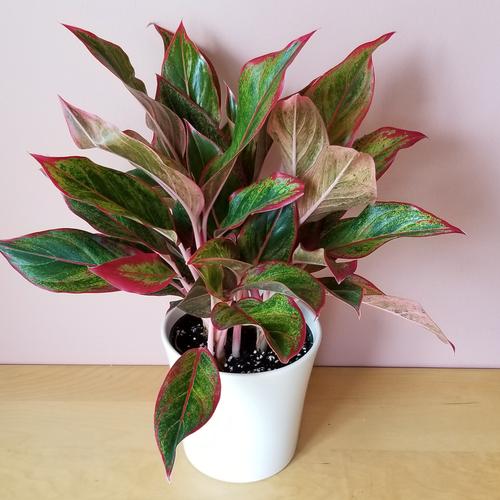 Aglaonema creta (red siam) indoor plants houseplants interiorplants plant sale Mississauga Toronto Brampton Burlington Oakville GTA