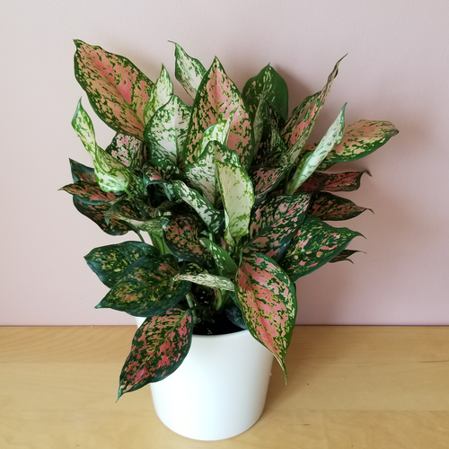 Aglaonema 'Valentine' indoor plants houseplants interiorplants plant sale Mississauga Toronto Brampton Burlington Oakville GTA