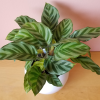 calathea concinna indoor plants houseplants interiorplants plant sale Mississauga Toronto Burlington Brampton Oakville GTA