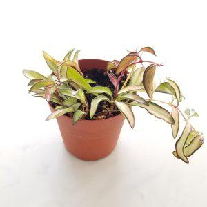 Indoor plants houseplants Interior plants air-purifying plants indoor plant sale Mississauga Toronto Etobicoke Oakville Brampton Burlington GTA Hoya narrow leaves variegated