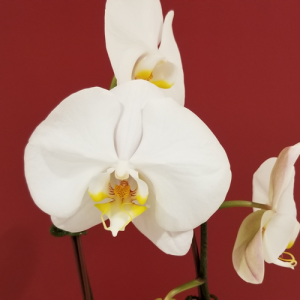orchid phalaenopsis white flowers cascading flowering indoor plants houseplants office plants gifts plant sale Mississauga Toronto Oakville Burlington Brampton GTA