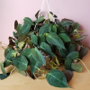 philodendron micans velvet leaf indoor plants houseplants office plants plant sale Mississauga Toronto Oakville Burlington Brampton GTA