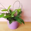 Hoya pubicalyx speckled 6 inch houseplants indoor plants plant sale Mississauga Toronto Brampton Burlington Oakville GTA