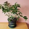 citrus tree limequat key lime indoor plants houseplants plant sale Mississauga Burlington Brampton Toronto GTA